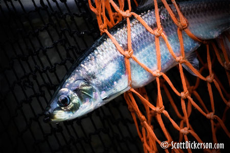 Photo of Togiak herring in seine net. Bering Sea, Bristol bay, Alaska