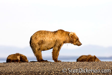 Brown bear and cubs in Katmai National Park