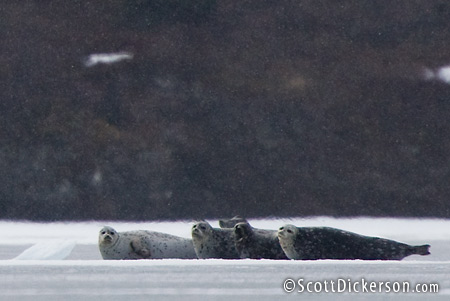 Freshwater Seals on Iliamna Lake, Alaska