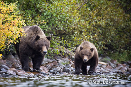 Brown bear sow and cub in Narrow Cove on Kukaklek Lake in Katmai National Preserve