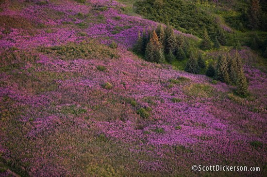 Aerial photograph of fireweed fields in Alaska taken from a paramotor.
