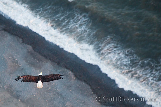 Aerial photo of eagle in flight from a paramotor in Homer, Alaska.