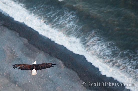 Aerial photo of eagle in flight from a paramotor in Homer, Alaska.