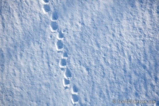 aerial photo of bear tracks in snow