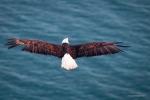 Bald Eagle Aerial, Alaska, Scott Dickerson Photography