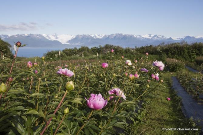 Peony flower farming in Homer, Alaska.
