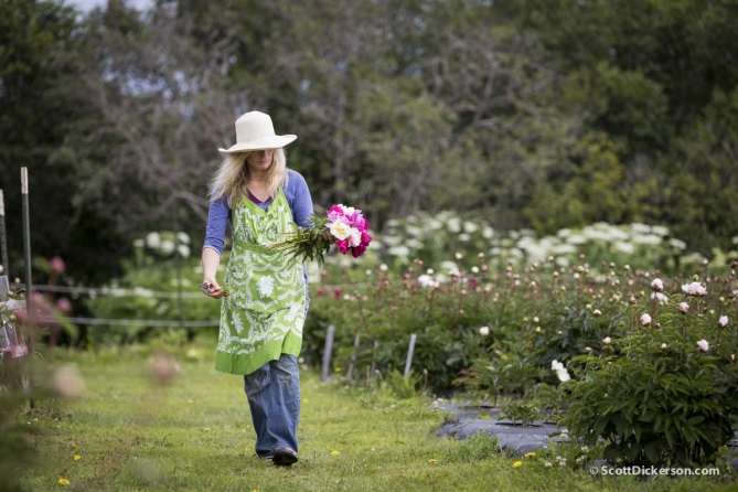 Peony flower farming in Homer, Alaska.